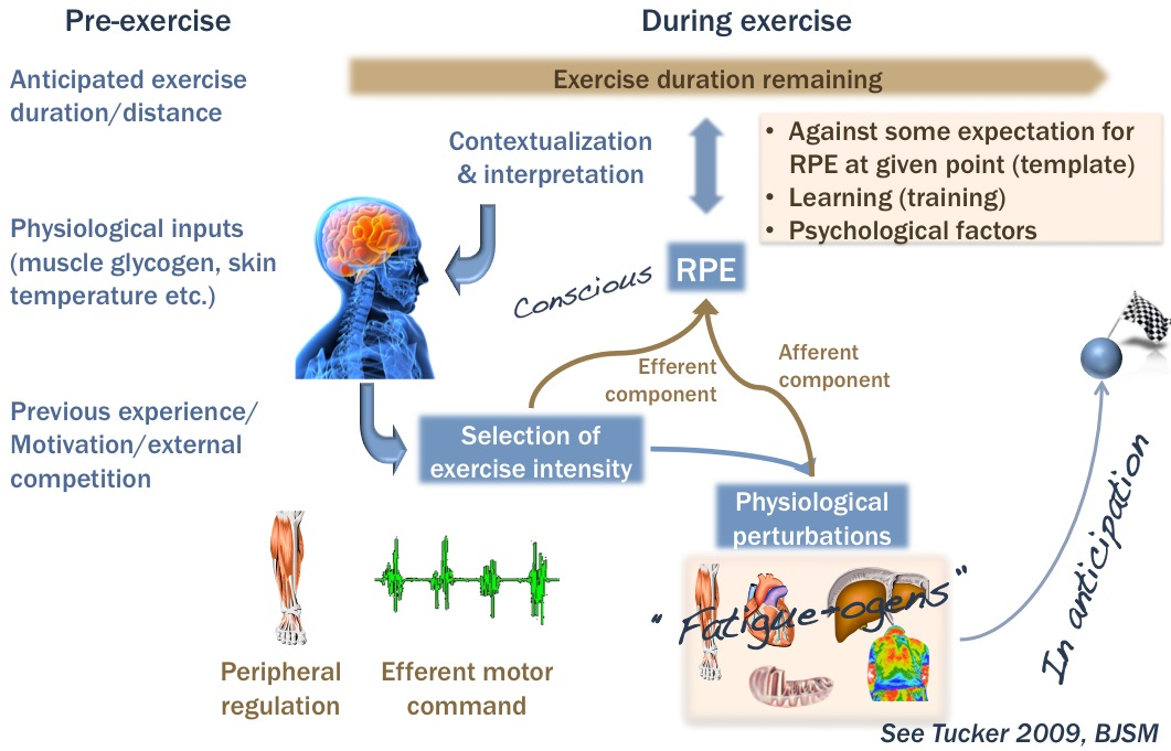 Fatigue and Exercise: Part I A | The Science of Sport